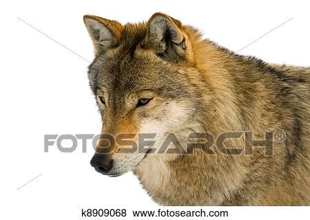 Europeo lupo grigio archivio fotografico k8909068 fotosearch