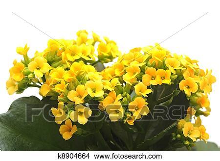 Banque De Photo Fleur Kalanchoe K8904664 Recherchez Des Images