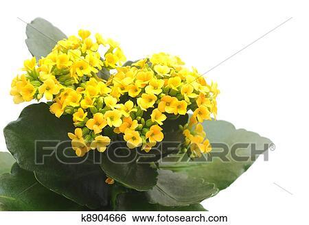 Banque D Images Fleur Kalanchoe K8904666 Recherchez Des Photos