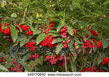Green Bush With Bright Red Berries Hang In Clusters Stock Image