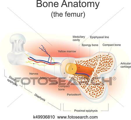 Clipart - hueso, anatomía, (the, femur) k49936810 - Buscar Clip Art ...