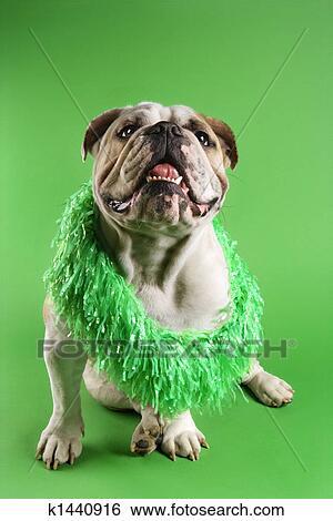 Engels Bulldog Vervelend Boa Stock Fotografie K1440916