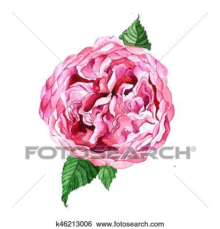 Stock illustration of austin rose pink flower isolated on white austin rose pink flower isolated on white background hand drawn watercolor drawing botanical illustration mightylinksfo