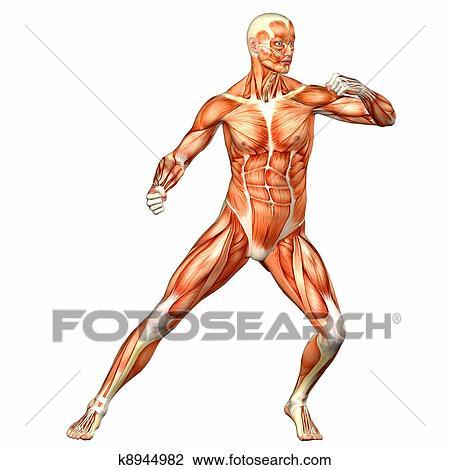 Corpo Masculino Anatomia Desenho K8944982 Fotosearch
