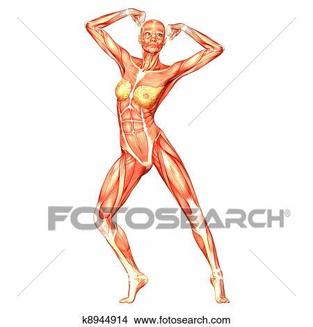 Drawings Of Female Body Anatomy K8944914 Search Clip Art