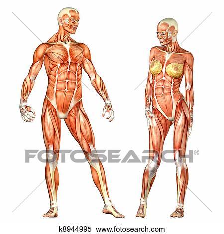 Stock Illustration Of Male And Female Human Body Anatomy K8944995