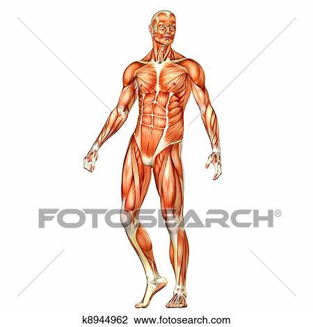 Clip Art of Male Body Anatomy k8944962 - Search Clipart ...