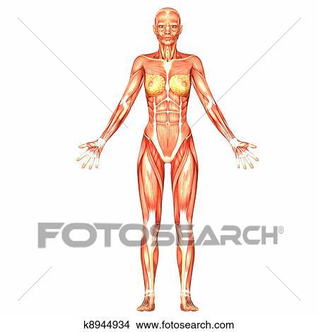 Goede Vrouwelijk lichaam, anatomie Stock Illustraties | k8944934 RU-79