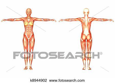 Clip Art - weiblich, menschliche anatomie k8944902 - Suche Clipart ...