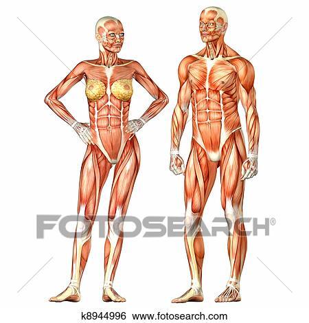 Stock Illustration - weiblich, und, männlich, menschlicher körper ...