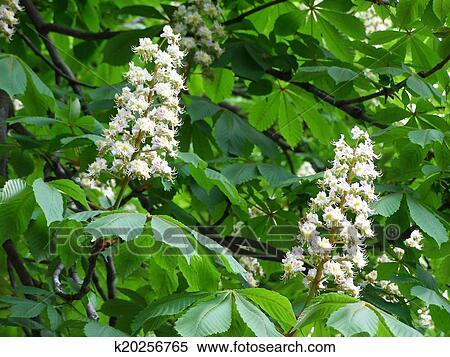 White Flowers On Chestnut Tree Stock Illustration K20256765
