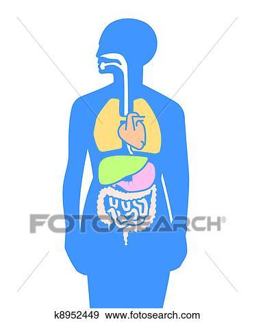 Clip Art - inner, organe, menschlicher körper k8952449 - Suche ...