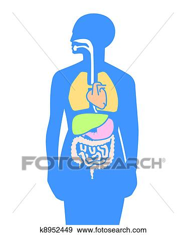 Dessin Corps Humain Organes clipart - intérieur, organes, corps humain k8952449 - recherchez des