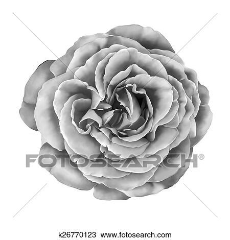 Dessin Noir Blanc Rose Isole Blanc Fond K26770123 Recherchez