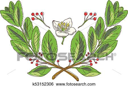 Yerba Mate Plant Flower Wtc Clip Art K53152306 Fotosearch