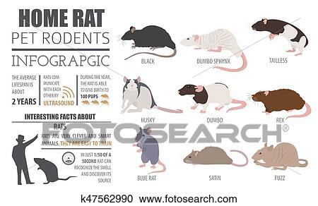 Rat breeds infographic template, icon set flat style isolated  Pet rodents  collection  Create own infographic about pets Clipart