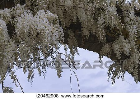 White Wisteria In Spring Stock Illustration K20462908 Fotosearch