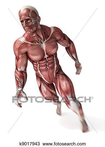 Zeichnung - männer, muskel, system k9017943 - Suche Clipart ...