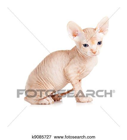 Funny hairless sphynx kitten isolated Stock Photo