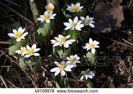 Bloodroot Flower Stock Photo