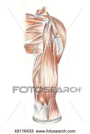 Dessin - anatomie humaine 6afd815e2c4