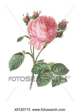 desenho flor ilustração antique rosa centifolia k9120713