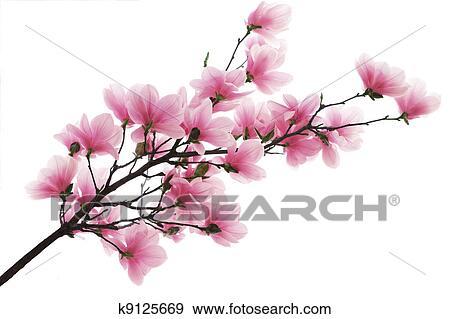 Archivio fotografico magnolia ramo k9125669 cerca for Magnolia pianta prezzi