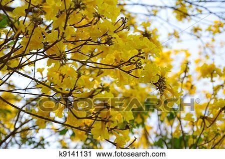 Banques De Photographies Tabebuia Arbre Fleurs Dans Jaune