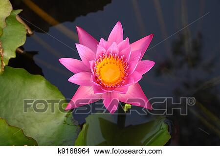 Drawing Pink Lotus Flower With Yellow Center In Shady Pond Fotosearch Search