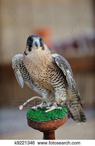 banco de imagens árabe falcão pássaro k9221346 busca de