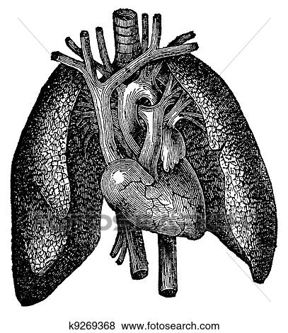 Stock Illustration of Anatomical Heart and Lung Engraving k9269368 ...