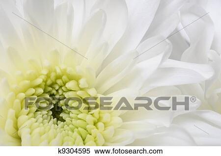 Banque D Image Grand Plan De Fleur Blanche Aster A Petales