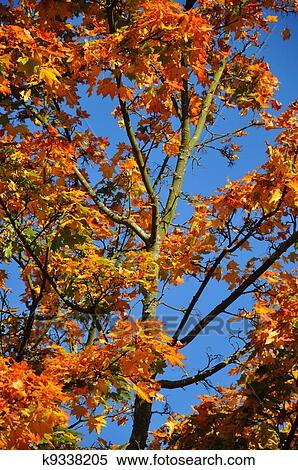 foto de Automne, jaune, érable rouge, forêt, à, ciel bleu, dans, fulda ...