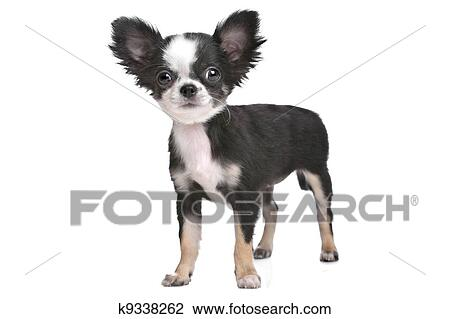Long Haired Chihuahua Puppy Stock Image