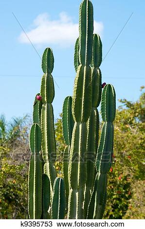 A Large Outdoor Cactus Against The Sky With Flower Bud Growing
