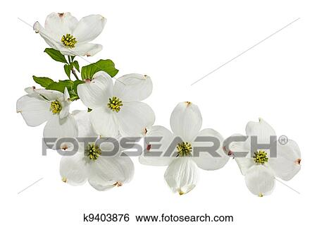 Stock images of pink white dogwood flowers k9403876 search stock pink white dogwood blossom spring flower isolated on white mightylinksfo