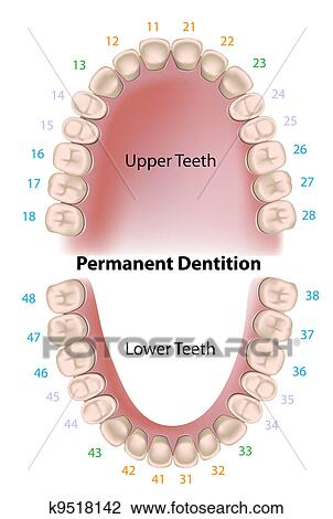 Clipart Of Dental Notation Permanent Teeth K9518142 Search Clip