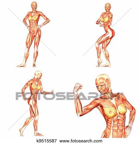 Anatomie Corps Humain Femme banque d'illustrations - femme, corps humain, anatomie, pack-5of5