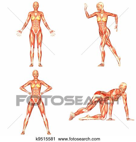 Clipart - hembra, cuerpo humano, anatomía, pack-4of5 k9515581 ...