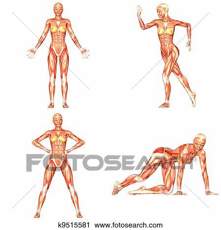 Clipart - weiblich, menschlicher körper, koerperbau, pack-4of5 ...