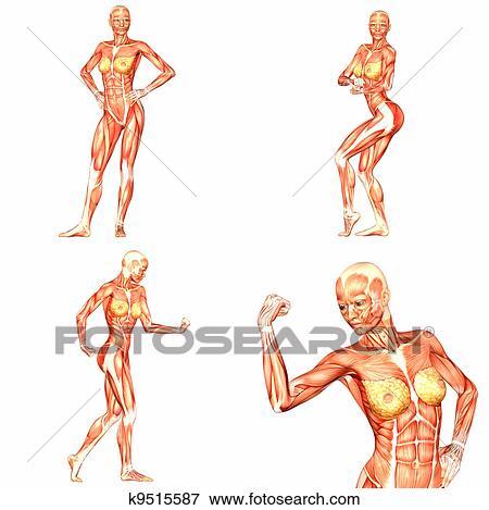 Stock Illustration - weiblich, menschlicher körper, koerperbau, pack ...