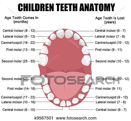 Clipart of Anatomy of children teeth k9567501 - Search Clip Art ...
