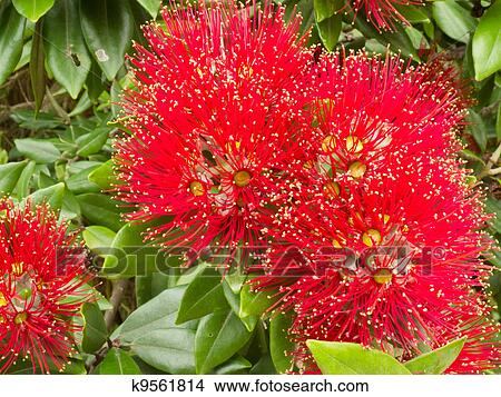 Closeup Blossoms Of Nz Christmas Tree Pohutukawa Picture K9561814