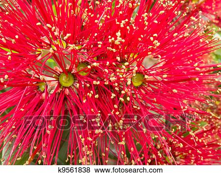New Zealand Christmas Tree.Closeup Blossoms Of Nz Christmas Tree Pohutukawa Stock Photo