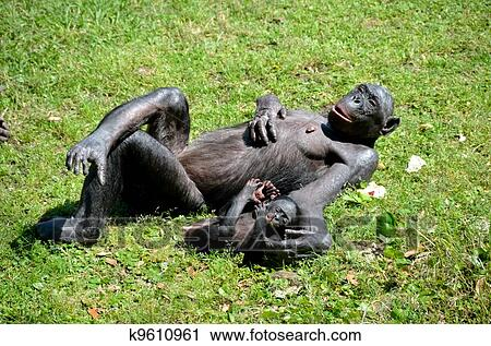 bonobo, aap stock afbeelding | k9610961 | fotosearch