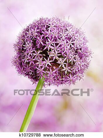 Pictures of allium purple garlic flowers k10729788 search stock allium flower head detail isolated on whte mightylinksfo