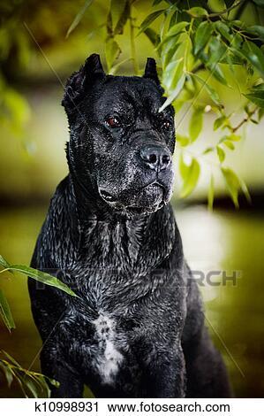 Black Dog Cane Corso Stock Image K10998931 Fotosearch