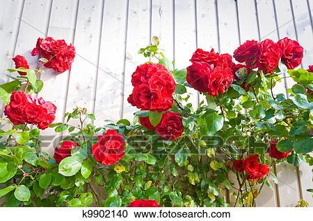 Bush Of Climber Rose Stock Image K9902140 Fotosearch