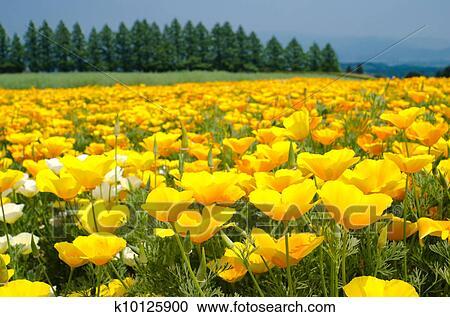 Stock photography of california poppy flower field k10125900 bright yellow california poppy flower field in early summer mightylinksfo
