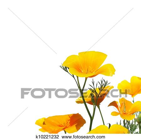 Stock Photo Of California Poppy Flower K10221232 Search Stock